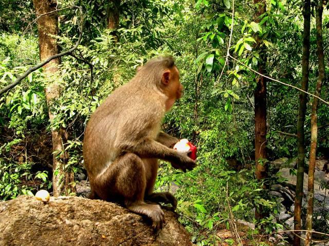 Monkey holding apple