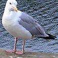 Big Gull