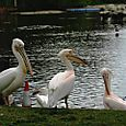 Pelicans in St James's Park