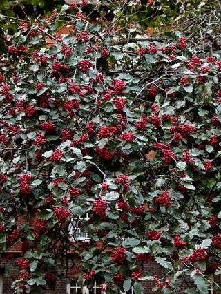Millbank berries