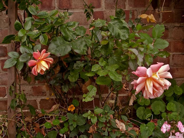 Last roses of summer
