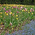 Tulips and blue gentian