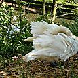 Feathery swan