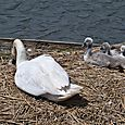 Sunbathing cygnets