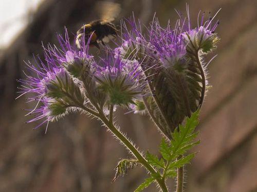 Bee thistle (3)