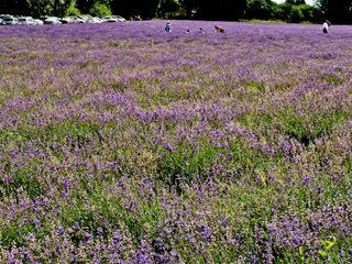 Lavender at Mayfield