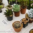 3 succulents other than cacti