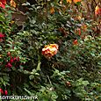 Rose and fuschia