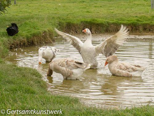 Show off goose