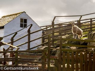 Goat in farmhouse