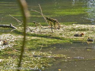 Fluffy ducks (3)