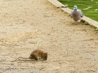 Rat and pigeon