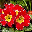 Red pansy