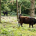 Common cattle