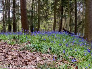 Leaves and bluebells