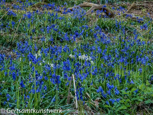 Bluebells and whitebells