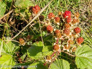Blackberries are red when they're green