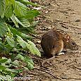 Tooting rat