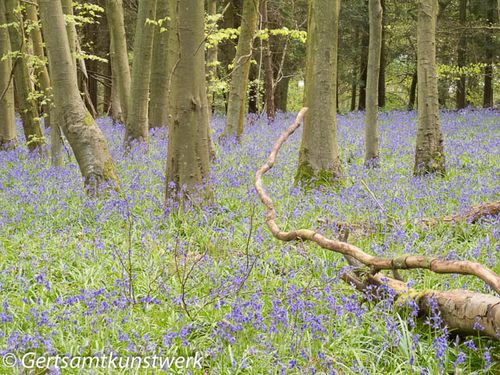 Bluebells and trunks
