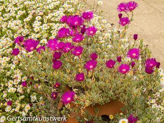 Purple and daisy