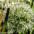 Allium head