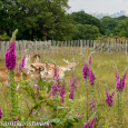 Foxgloves and deer