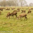 Lots of red deer