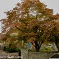 Church tree