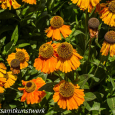 Big orange flowers