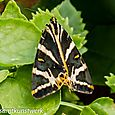 Jersey tiger at home