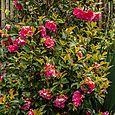 Full camellia