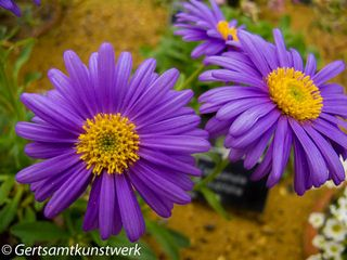 Purple yellow (2)