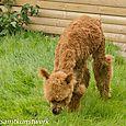 Face the alpaca