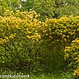 Yellow rhodos