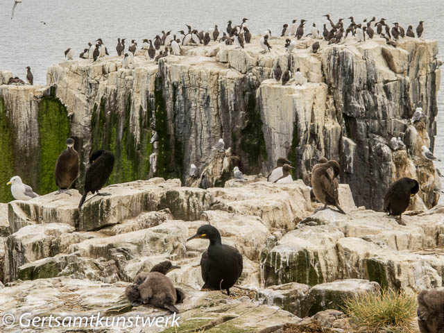 Shags and cormorants