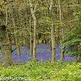 Sea of bluebells