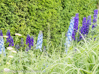 Lupins June