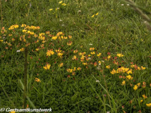 Buttercups on lawn