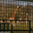 Vic Reeves giraffe house