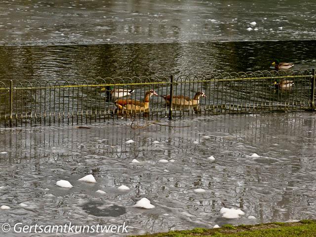 Ducks near ice
