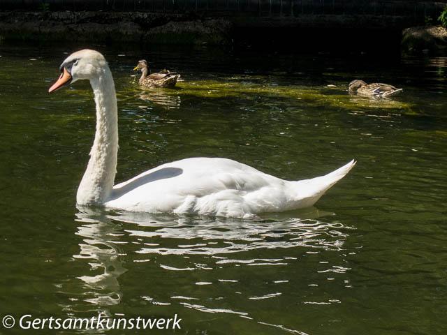 Swan & ducks