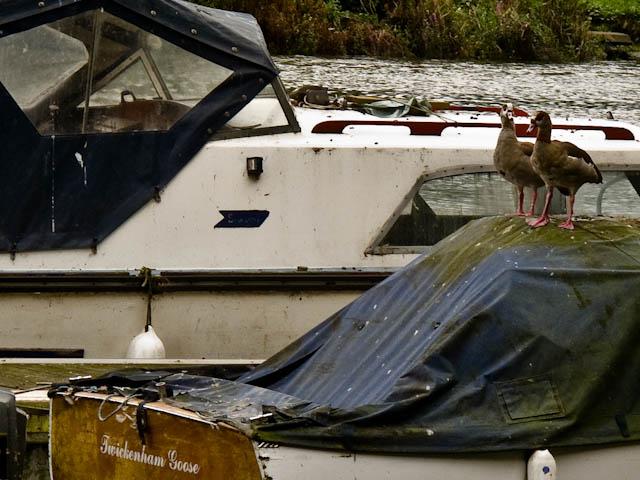 Twickenham Goose