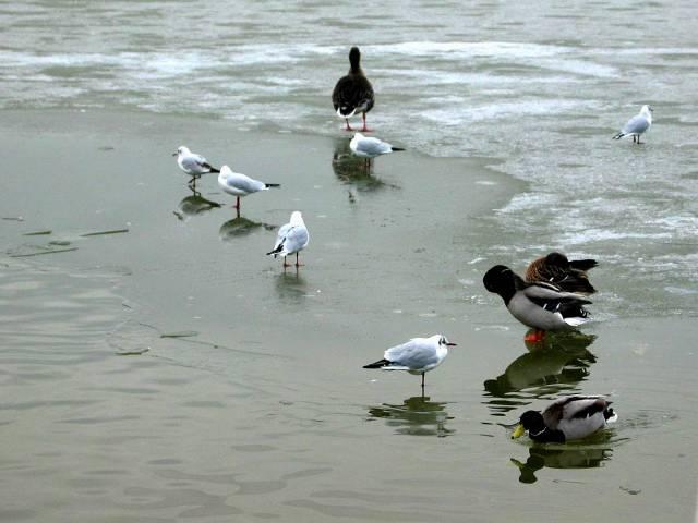 Birds on ice