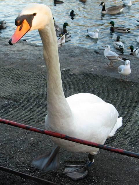 Giant swan
