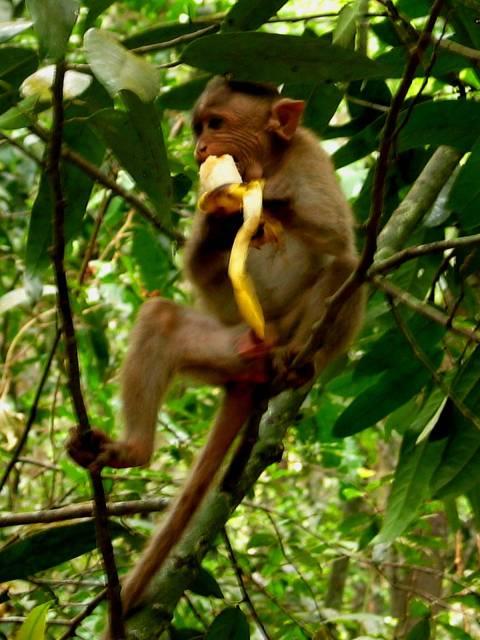 Eating a banana