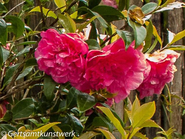 Close camellia