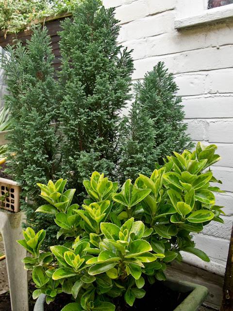 Evergreen corner