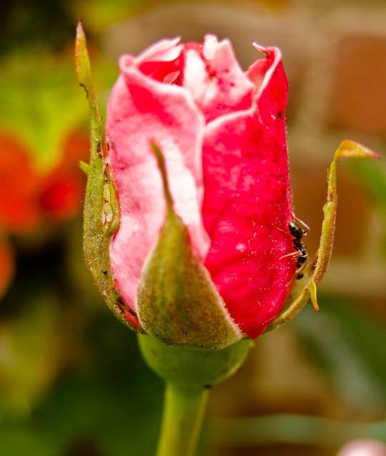 Rosebud ant