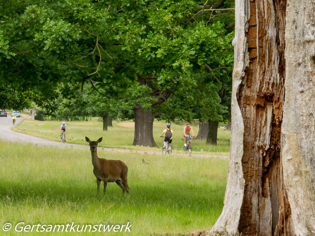 Deer and cyclists
