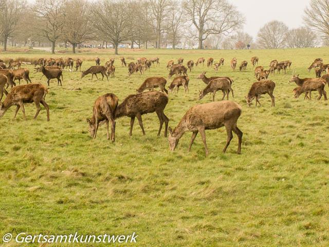 Lots of red deer